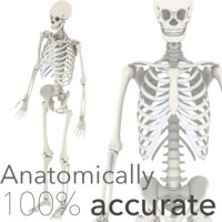 3D anatomically accurate skeleton model