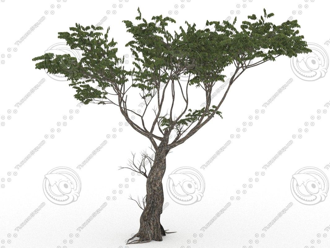 acacia faidherbia albida 3D model