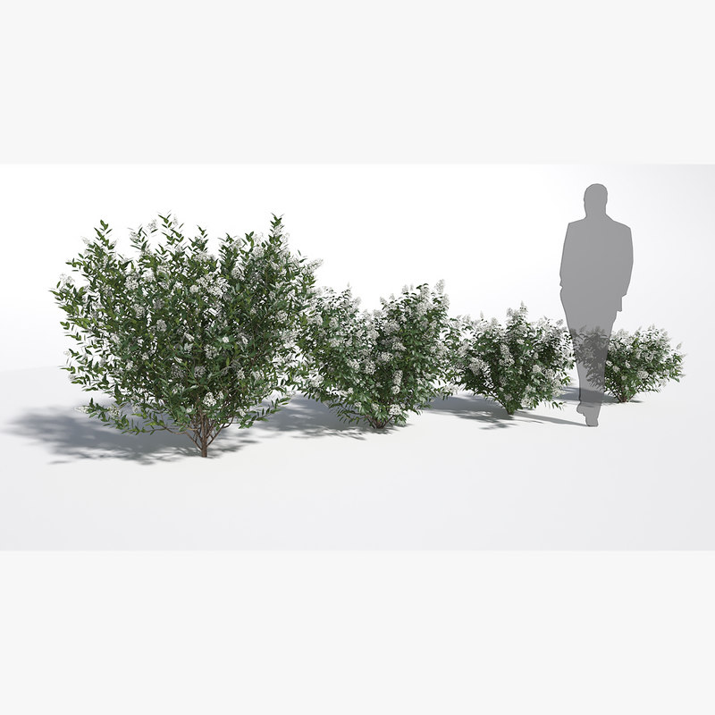 3D model ligustrum vulgaris bush