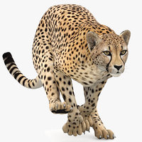 Cheetah Animated