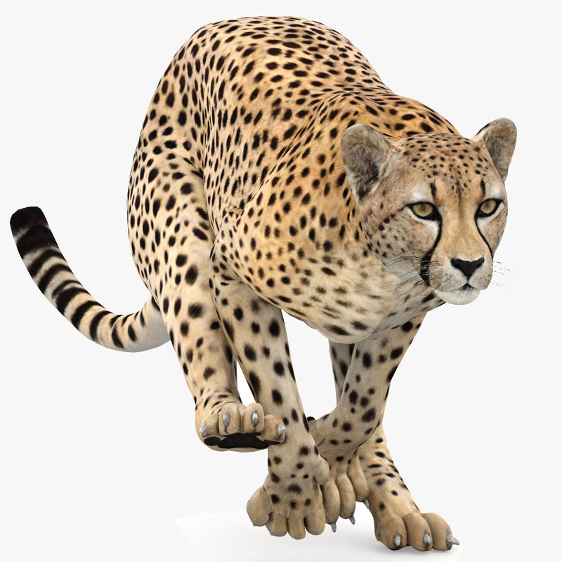 cheetah cat 3D model