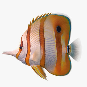 copperband butterflyfish 3D
