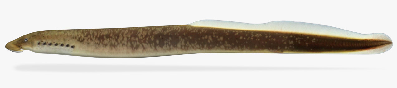 3D southern brook lamprey