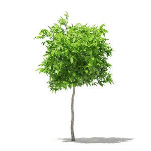 avocado tree 1 5m 3D model