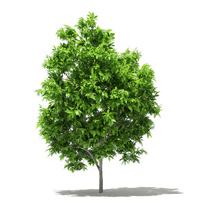 3D avocado tree 2 9m