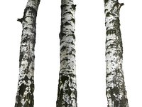Birch-Tree Bark 16K Ultra HD