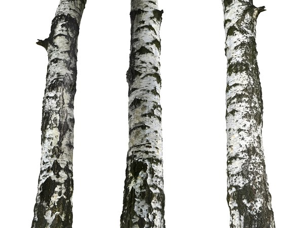 birch-tree bark 16k ultra 3D model