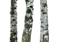 3D birch-tree bark model