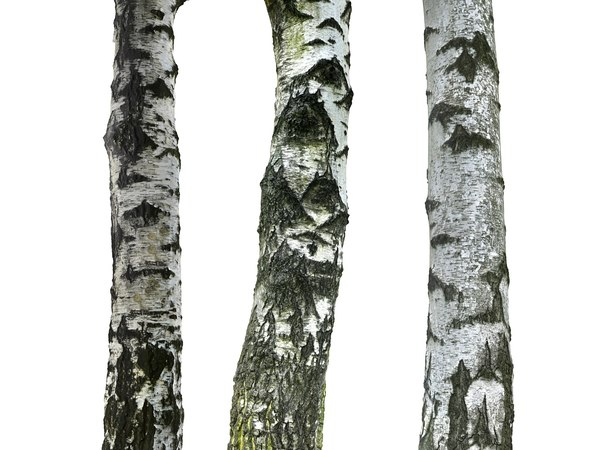 3D birch-tree bark model