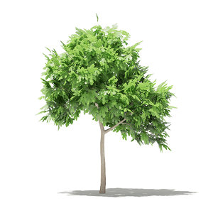 common fig tree 1 3D model