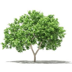 3D common fig tree 2