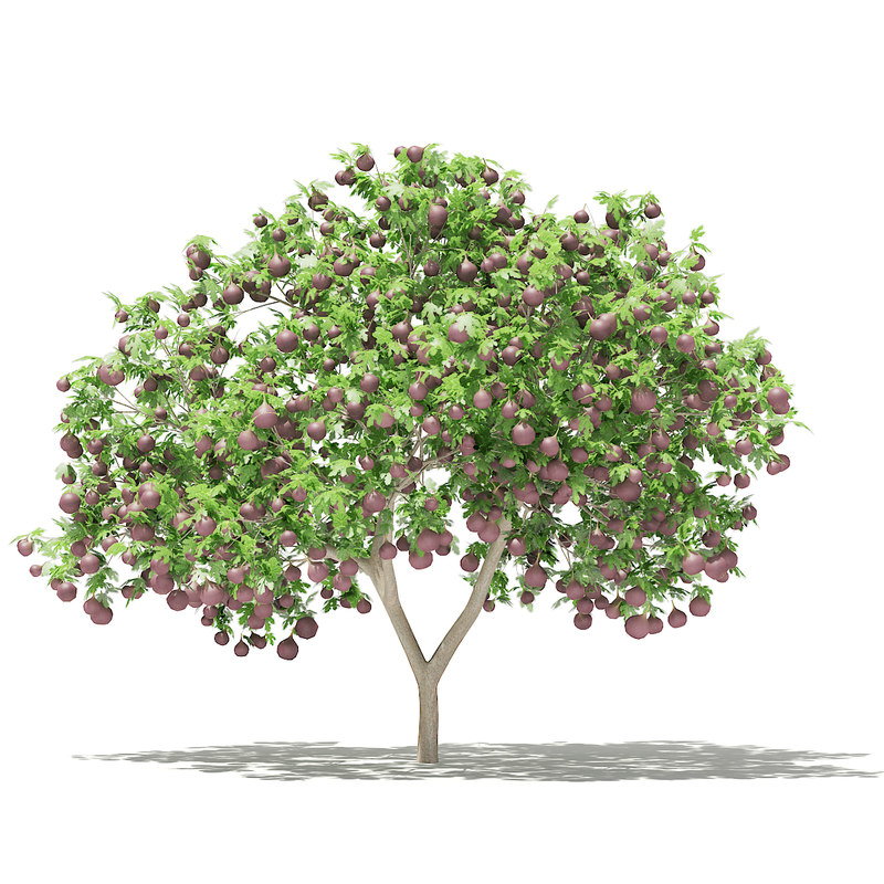 common fig tree fruits 3D model