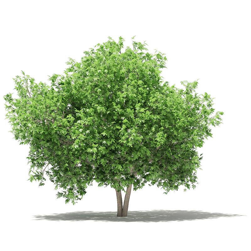 3D common fig tree 3