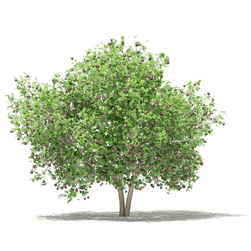 3D model common fig tree fruits