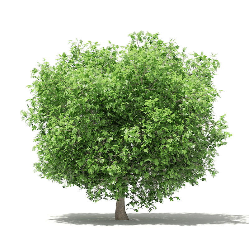 common fig tree 3 model
