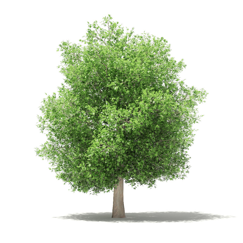 common fig tree 6 3D model