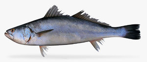 shortfin corvina model