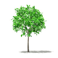 grapefruit tree 1 3m model