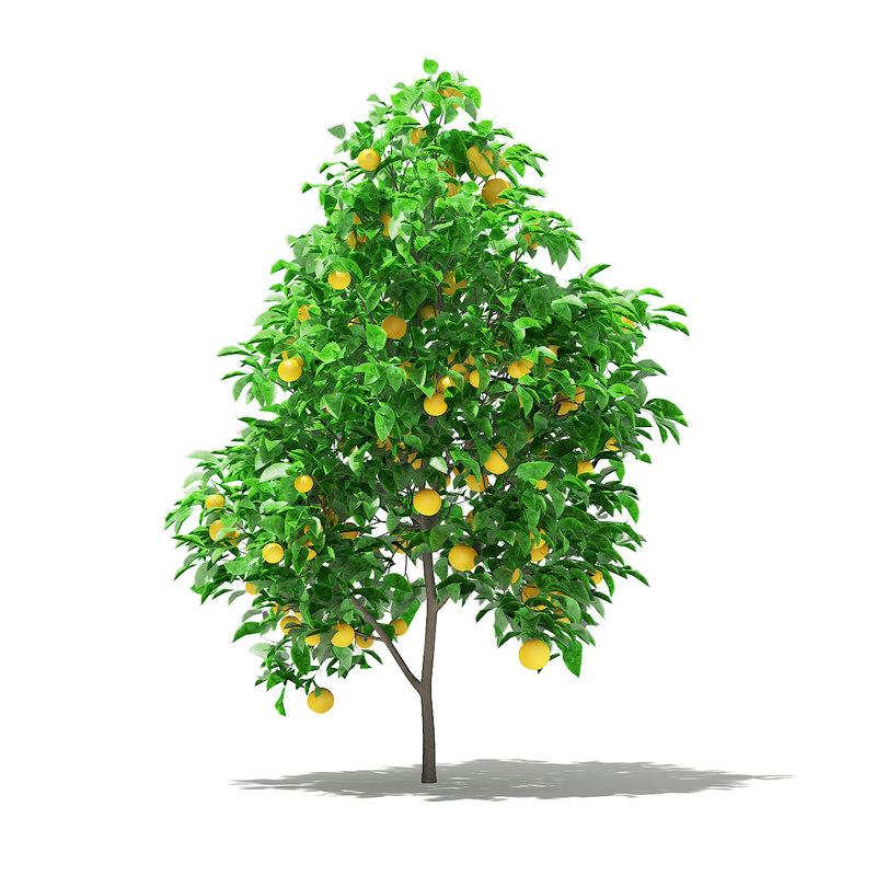 grapefruit tree fruits 2 model