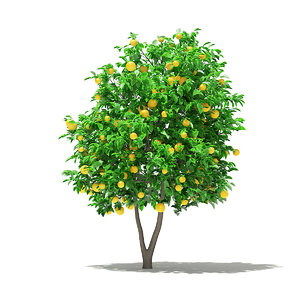 3D grapefruit tree fruits 2