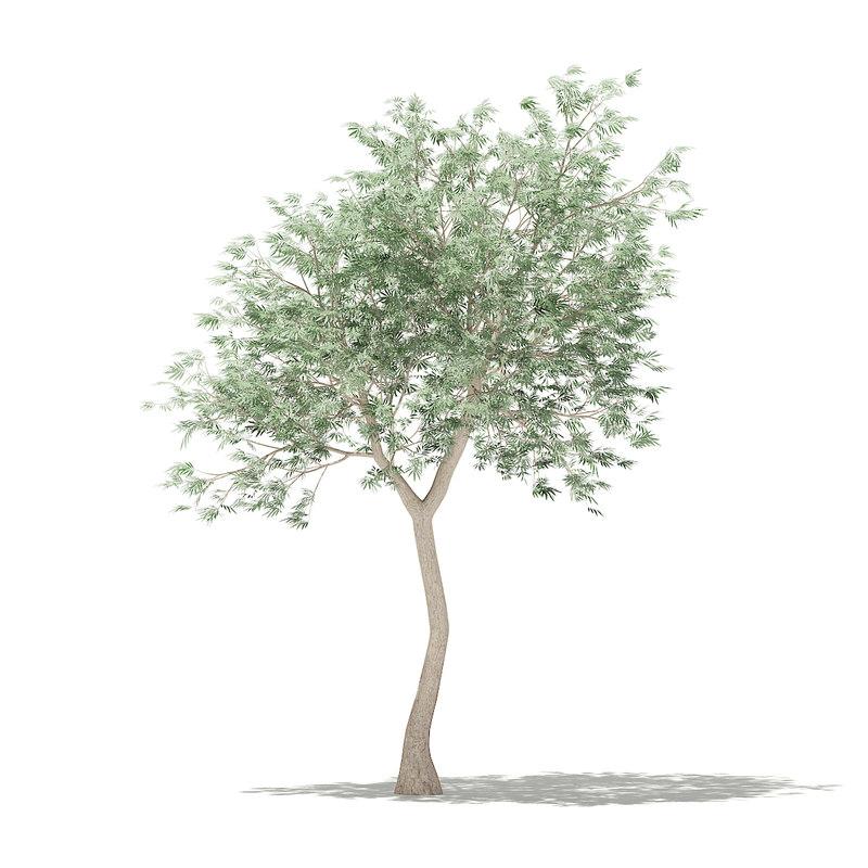 3D olive tree 3m model