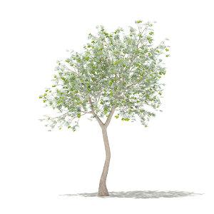 olive tree fruits 3m 3D model
