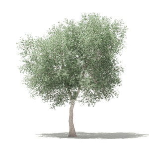 3D olive tree 6m