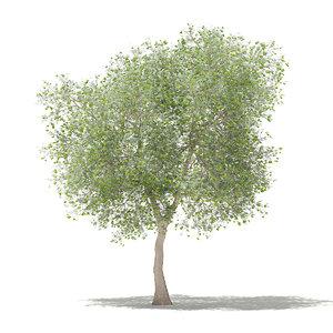 olive tree fruits 6m 3D model