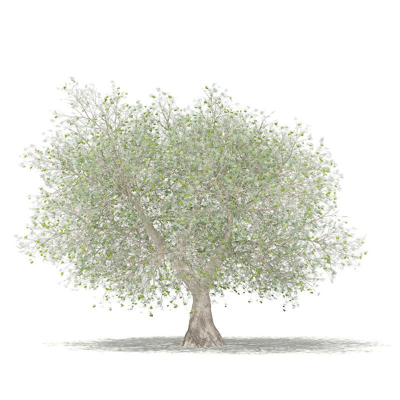 3D olive tree fruits 4 model