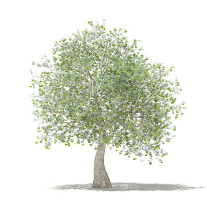 olive tree fruits 3 3D