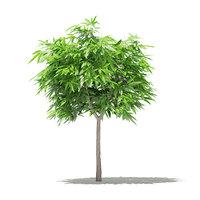 mango tree 1 7m 3D model