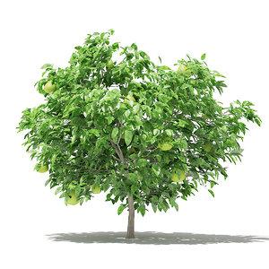pomelo tree fruits 1 3D model
