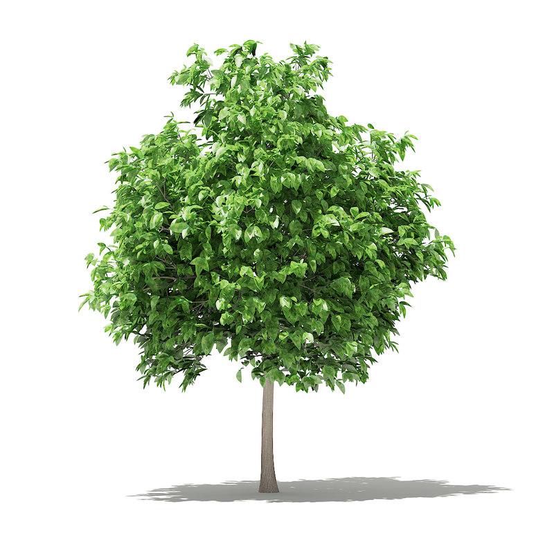 3D pomelo tree model