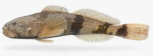 cottus carolinae banded sculpin model