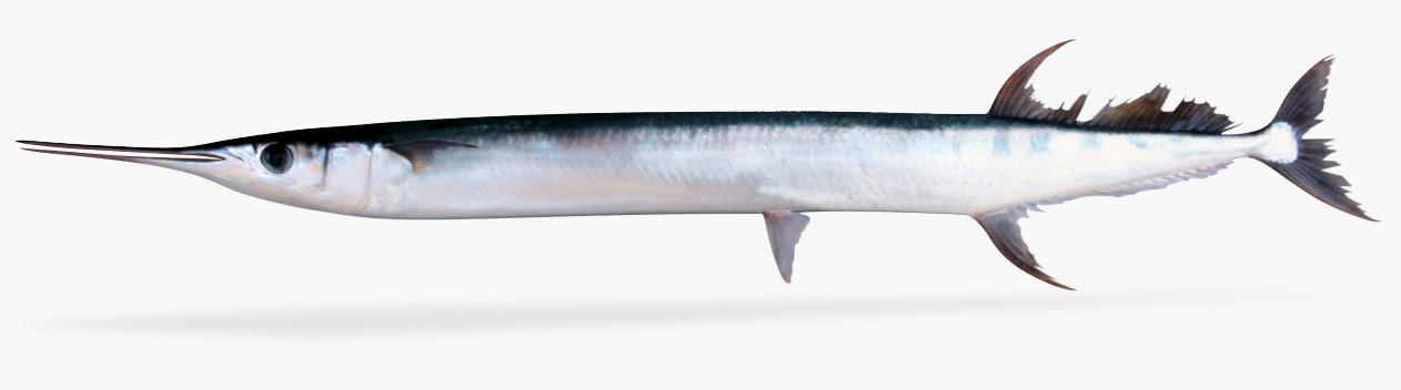 flat needlefish 3D model
