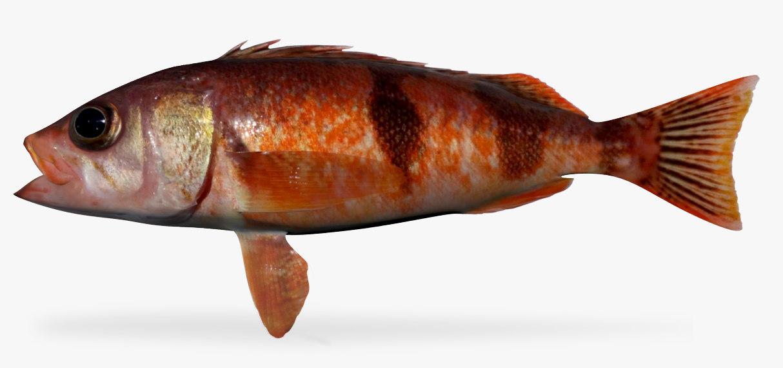 halfbanded rockfish 3D