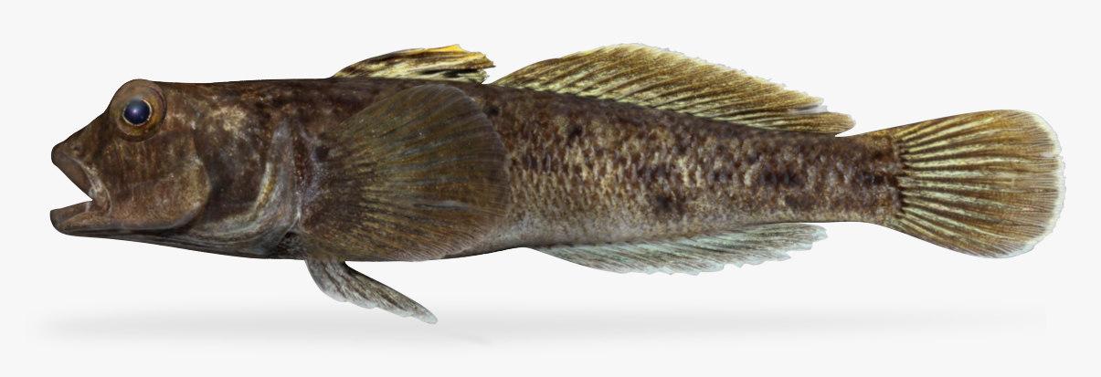 3D neogobius melanostomus goby