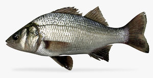 3D model white perch