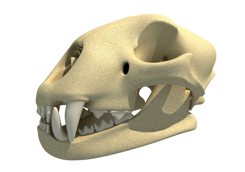 3D cheetah skull skeleton