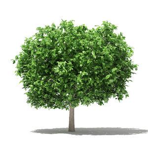 pomelo tree 3 6m model