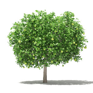 3D pomelo tree fruits 3