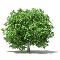 3D pomelo tree 2 8m