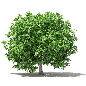 3D pomelo tree 2 8m