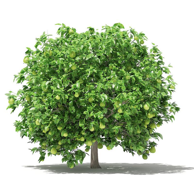 pomelo tree fruits 2 model