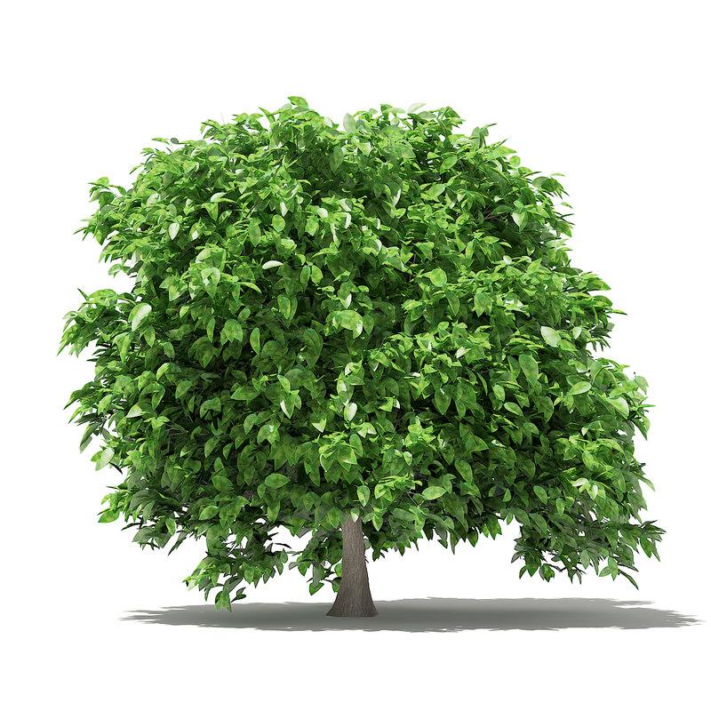 pomelo tree 2 4m 3D model