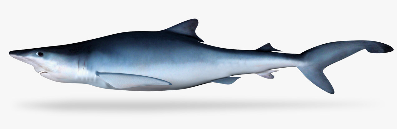 blue shark model