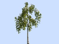 Birch-Tree Animated