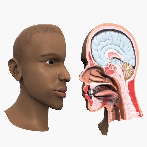 head anatomy 3D model
