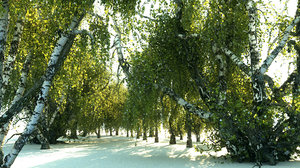 birch-tree forest pack 18 3D
