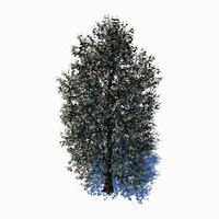 carolina poplar tree 3D model